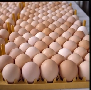 Sell Fresh Brown Chicken Eggs/ Hatching Chicken Eggs