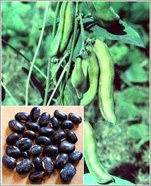 Wholesale herbal: Mucuna Pruriens Seed Powder Herbal Sexual Stimulant Natural Aphrodisiac