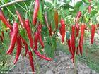 Sell paprika oleoresin