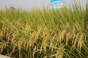Wholesale hybrid seeds: Hybrid Rice Seed