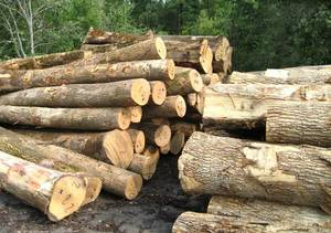 Wholesale beech: Beech Log