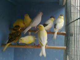 Wholesale live birds: Live Yorkshire Canary - Lancashire Canary Birds and Others Live Birds