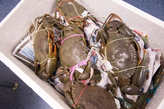 Sell  Sell Mud crab/frozen Mud crab at competitive price