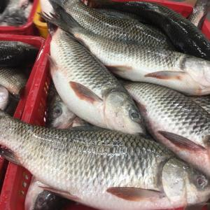 Wholesale seine nets: Whole Sale FROZEN ROHU FISH From South Africa