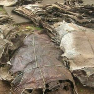 Wholesale dry salted donkey hides: Dry Salted Donkey Hides