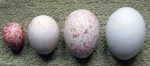 Wholesale sea eagle: Buy Eagle Eggs Online
