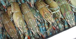 Wholesale danube: Live Redclaw Crayfish , Yabby Crayfish and Other Types of Crayfish Available