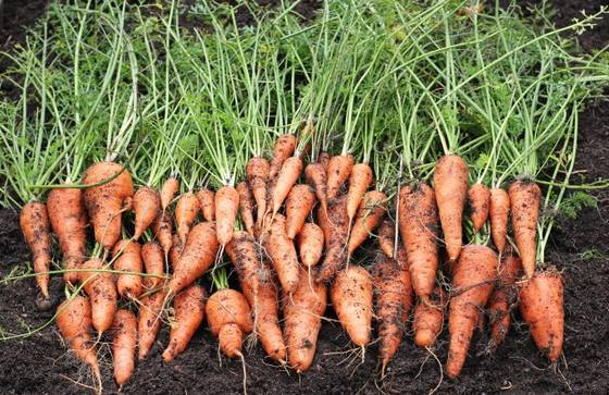 Sell Fresh carrots, organic carrot, vegetables, fruits, spices, onions, tuber