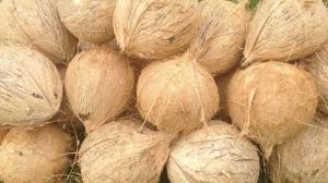 Wholesale Fruit: Best Rate Fresh Brown Semi Husked Coconuts