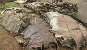 Wholesale donkey meat: Dry Donkey Hides,Wet Salted Donkey Hides / Cow Skin and Donkey Hides