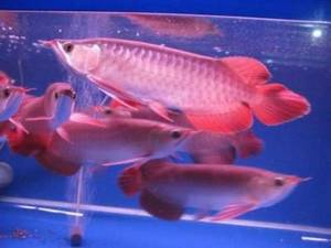 Wholesale Fish: We Supply Live Arowana Fishes of All Kinds