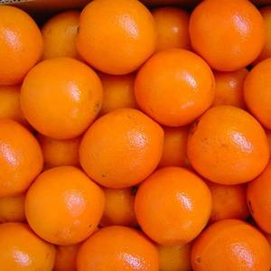 Wholesale valencia: Best Quality Fresh Naval and Valencia Oranges