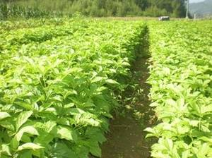 Wholesale siberian ginseng extract: Siberian Ginseng Extract