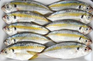 Wholesale seafood fish: Frozen Fish Seafood