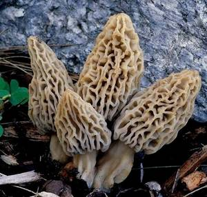 Wholesale morel: Dried Morel