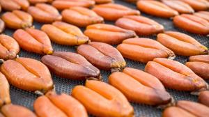 Wholesale Fish: Mullet Roe