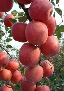 Wholesale Apples: Fresh Apples