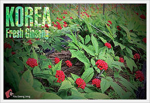 Wholesale Herb Medicine: Fresh Ginseng