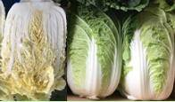 Sell Chinese cabbages