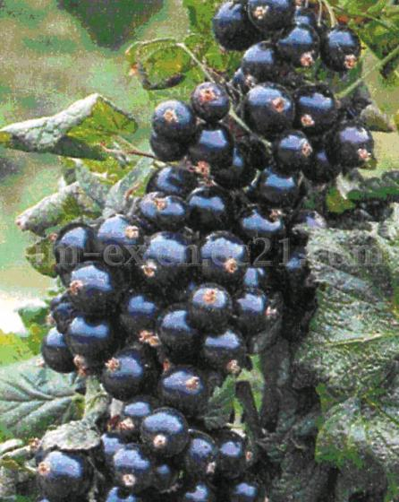 Whole Sweetened Dried Blackcurrant